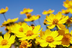 Yellow daisy meadow against a blue sky Stock Photo