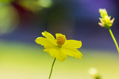 Yellow daisy in nature Royalty Free Stock Images