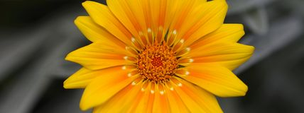 Yellow daisy panorama Stock Photo