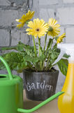 Yellow daisy in a pot Stock Photo