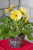 Yellow daisy in a pot Stock Photography