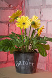 Yellow daisy in a pot Royalty Free Stock Photography