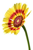 Yellow daisy with red strip and pink pollen flower isolated on white. Background Stock Image