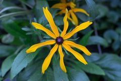 Yellow daisy Rudbeckia stock photo