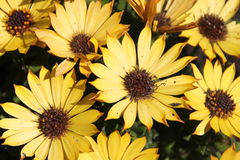 Yellow daisy's royalty free stock images