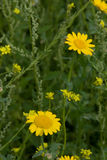 Yellow Daisy's In Meadow. Yellow daisy's in natural meadow royalty free stock image