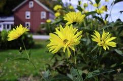 Yellow daisy's royalty free stock image