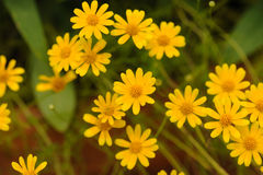 Yellow daisy select focus and soft backbround Royalty Free Stock Photography