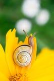 Yellow daisy with a snail Stock Photos