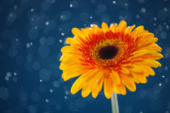 Yellow daisy on snow background Royalty Free Stock Image