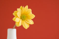 Yellow daisy solid colour background. Yellow daisy red background Stock Photos