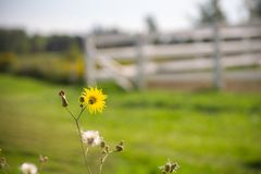 Yellow daisy on stem in meadow with white fence stock photos