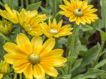 Yellow daisy in summer Royalty Free Stock Images