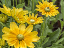 Yellow daisy in summer Stock Image