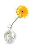 Yellow daisy in vase. Isolated Royalty Free Stock Images
