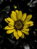 Yellow Daisy with waterdrops. Yellow daisy waterdrops small flowers selectivecolour blackyellow closeup stock images