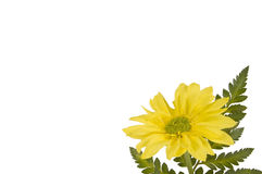Yellow Daisy On White Background Stock Images