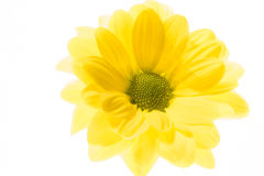 Yellow chrysanthemum on white background Royalty Free Stock Photos