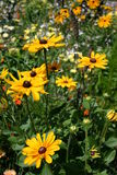 Yellow Daisy. Wild flowers in full bloom Royalty Free Stock Photography
