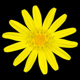 Yellow daisy wildflower Isolated on Black Stock Photos