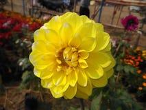 yellow dalia Stock Photography