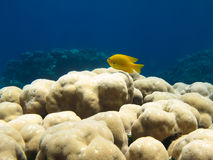 Yellow Damsel Fish on Coral. Small yellow damsel fish on a coral in clear blue water Royalty Free Stock Images