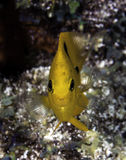 Yellow Damsel Fish facing camera on coral reef Royalty Free Stock Photos