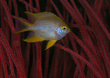 Yellow Damsel Fish and Red Sea Whips Royalty Free Stock Photography