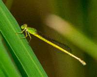 Yellow damselfly Stock Images