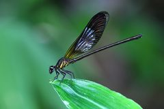 Yellow Damselfy/Dragon Fly/Zygoptera sitting in the edge of green leaf with green background Stock Photography