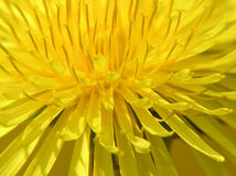 Yellow dandelion Royalty Free Stock Photography