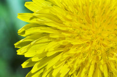 Yellow dandelion Stock Photos