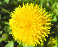 The yellow dandelion Royalty Free Stock Images