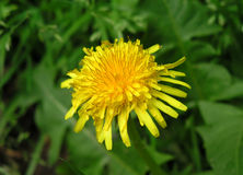 Yellow Dandelion. Late summer in my mom's garden Royalty Free Stock Image