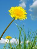 Yellow dandelion Stock Photo