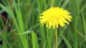 A yellow dandelion against the background of a juicy green grass swings in the wind. A yellow dandelion against the background of a juicy green grass swings in stock video
