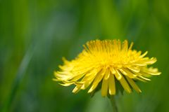 Yellow dandelion against soft defocused green background Royalty Free Stock Photography