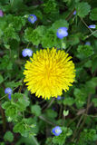 Yellow dandelion on background of field purple flowers Stock Photography