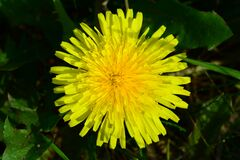 Yellow dandelion on the background of green grass.