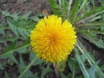 Yellow dandelion Stock Images