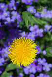 Yellow dandelion bloom in the garden with blue flower background Royalty Free Stock Image