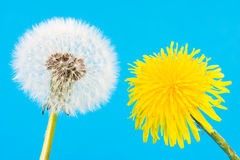 Yellow dandelion and blowball with seeds Royalty Free Stock Images