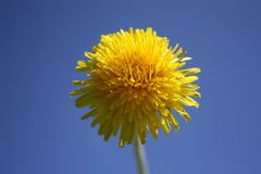 a yellow dandelion on a blue sky. royalty free stock photography