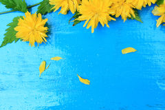 Yellow dandelion on blue wooden background Royalty Free Stock Image