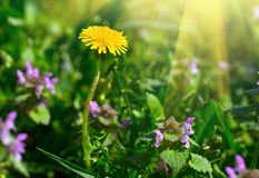 Yellow dandelion. Bright floral dandelions on a background green spring meadows royalty free stock photography