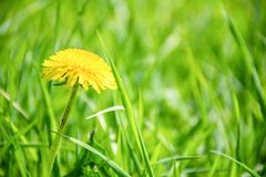Yellow dandelion. Bright flowers dandelions on green grass background. copy space, space for text. royalty free stock image