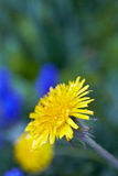 Yellow dandelion Royalty Free Stock Photos