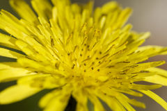Yellow Dandelion Close up. A common dandelion found in most areas of Australia Royalty Free Stock Photos