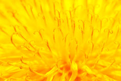 Yellow dandelion close up Royalty Free Stock Photography