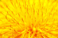 Yellow dandelion close up Stock Photography